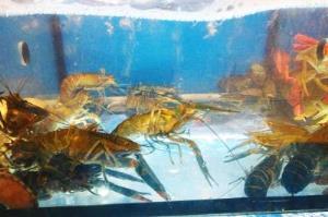 蒸棧現撈新鮮龍蝦