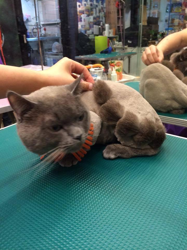 貓咪寵物美容