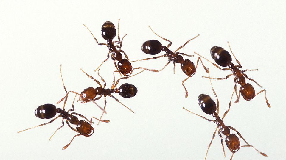 除螞蟻(Ants)
