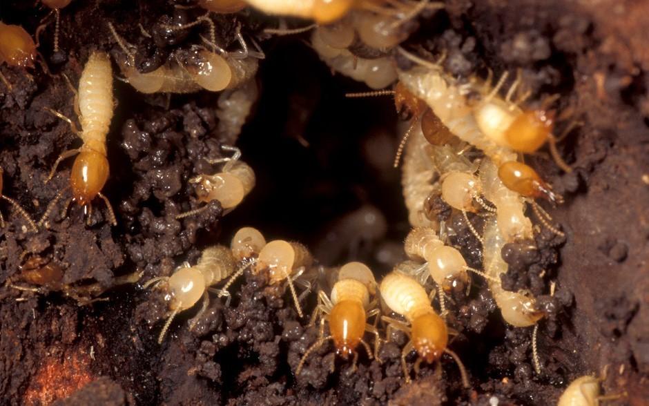 除白蟻(Termite)