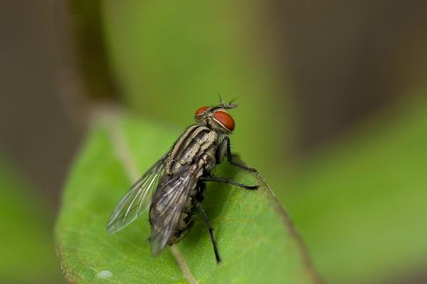 除蒼蠅(Flies)