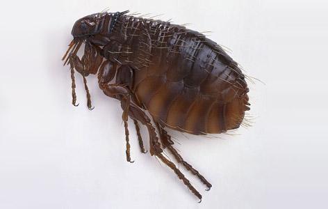 除跳蚤(Fleas)
