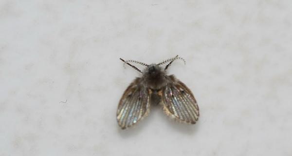 除蛾蚋(Moth flies)
