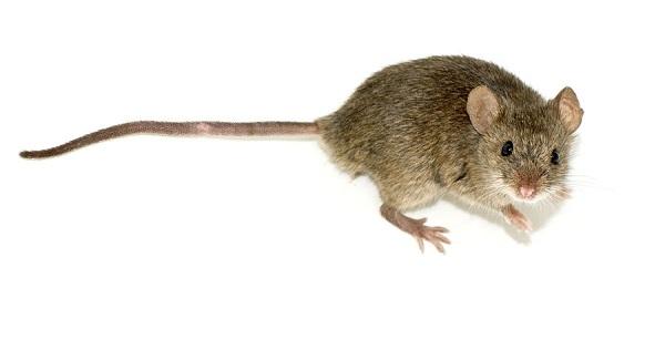 除老鼠(Rats and Mice)