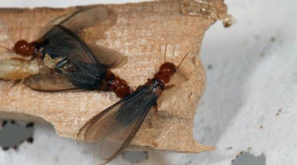 飛蟻是雨天過後的常客,故有大水蟻的俗稱