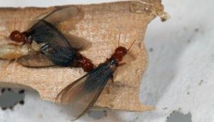 飛蟻(Flying ant)/白蟻成蟲(Termite)