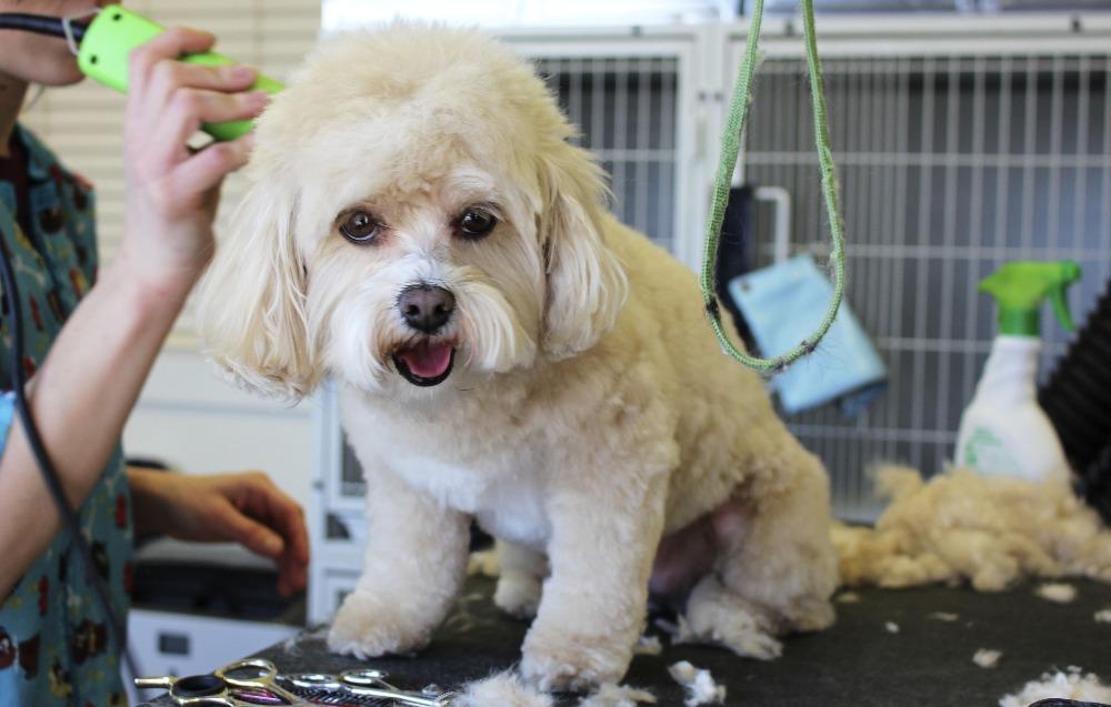 台北寵物美容-寵物美容課程|阿默寵物美學