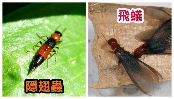 隱翅蟲跟飛蟻外表相似,容易造成混淆
