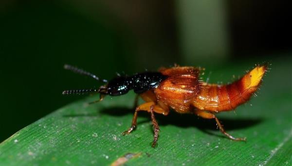 隱翅蟲體型雖小,卻擁有強力毒液