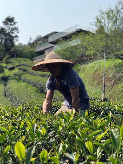 你是茶農嗎? 茶園是你的嗎?
